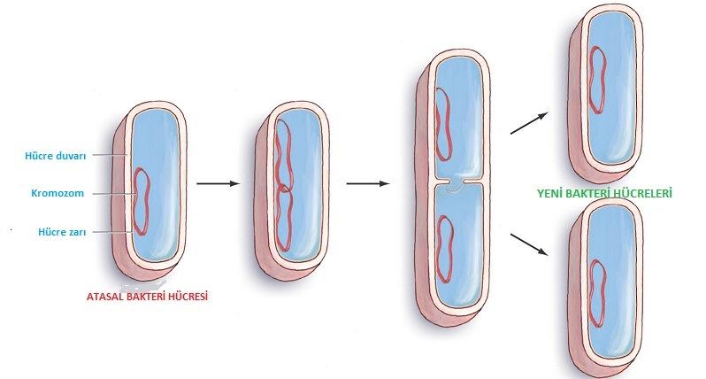 kloroplast nedir özellikleri